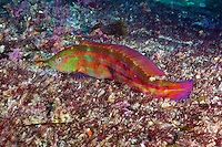 RS0957-D. Senator Wrasse (Pictilabrus laticlavius), a beautiful fish growing to 27 cm, usually found on algae covered reefs in shallow water. Pictured here is a male. This species is a protogynous hermaphrodite, which means individuals are born female, and later change sex to male. Tasmania, Australia, Pacific Ocean.<br /> Photo Copyright &copy; Brandon Cole. All rights reserved worldwide.  www.brandoncole.com