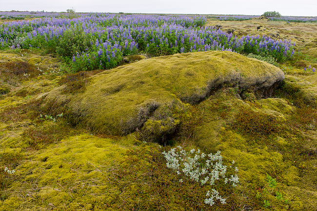Nootka lupines (Lupinus nootkatensis) with Arctic willow (Salix arctica) and Wolly willow in the foreground growing in a lava field covered with Woolly Fringe-moss (Racomitrium lanuginosum) in southern Iceland.