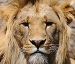 08.06.2011,Tiergarten Schoennbrunn, Wien, AUT, Chronik, im Bild Loewe // Lion, chronicle, AUT, Vienna, zoological garden Schoennbrunn, 2011-08-06, EXPA Pictures © 2011, PhotoCredit: EXPA/ M. Gruber