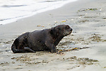 Sea Otter (Enhydra lutris) male on beach, Elkhorn Slough, Monterey Bay, California