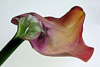 Flores. Calla desfolhada, Copo-de-leite, lírio-do-nilo ( Zantedeschia aethiopica) SP. Foto de Manuel Lourenço.