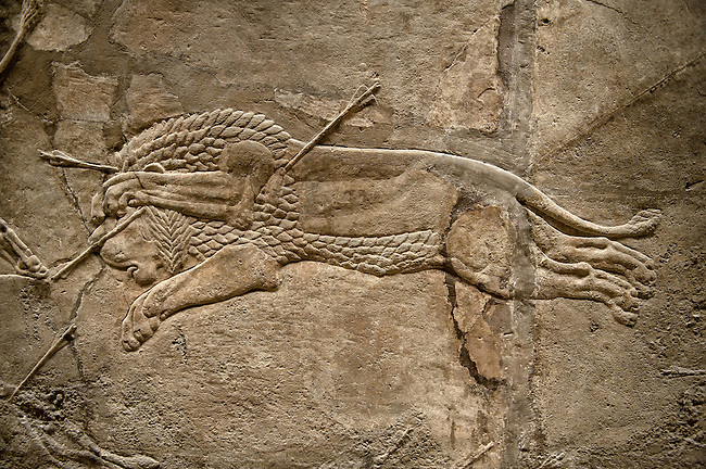 Assyrian relief sculpture panel from the  lion hunt showing a dying lion.  From Nineveh  North Palace, Iraq,  668-627 B.C.  British Museum Assyrian  Archaeological exhibit no ME 124864