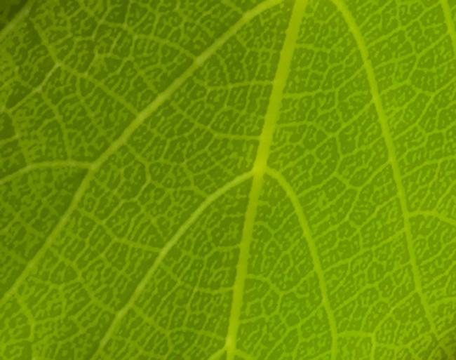 Leaf of cabernet vine