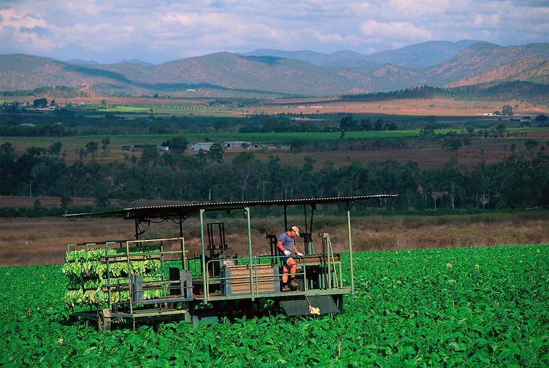 Italo Pellizzer Harvesting Tobacco, Pellizzer's Farm, Dimbulah, 2003.
