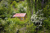 An old miners hut surrounded with flowering Hawthorn trees in Long Gully, Skippers, Queenstown Lakes District, Otago, South Island, New Zealand.