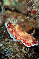 Undescribed chromodoris sp 7 nudibranch