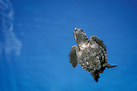 Kemp's ridley sea turtle hatchling (Endangered), Lepidochelys kempii, in open ocean off nesting beach Rancho Nuevo, Mexico, Gulf of Mexico, Caribbean Sea, Atlantic Ocean