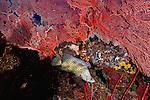 large gorgonian sea fans; Cendrawasih Bay; Barramundi Cod(Cromileptes altivelis) beneath sea fan