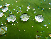 Fazenda Bauplatz, Brazil. Dewdrops on a green leaf.