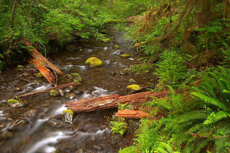 River running through forest with broken cedar log, Quinault Rain Forest, Olympic Peninsula, Grays Harbor County, Washington, USA