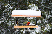 00585-03416 Northern Cardinals (Cardinalis cardinalis) male & female & Carolina Chickadee on tray feeder in winter, Marion Co.  IL
