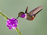 A sunangel hummingbird visits a purple flower at the Tandayapa bird lodge in Ecuador.