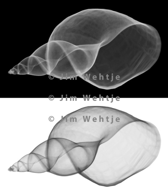 X-ray image of a great pond snail shell (grayscale) by Jim Wehtje, specialist in x-ray art and design images.