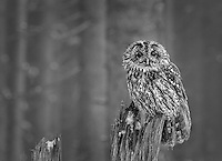 A little owl in a winter forest