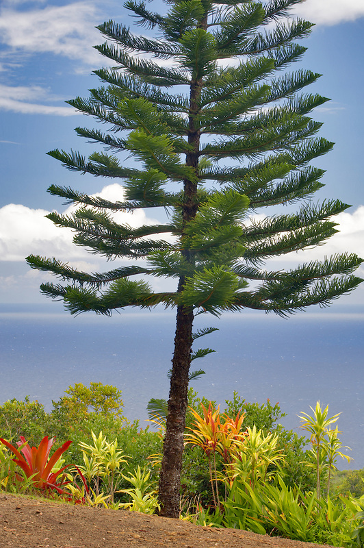 Norfolk Island pine tree and ocean from Garden of Eden Botanical Gardens. Maui. Hawaii