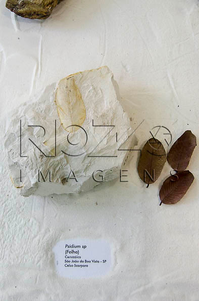 Folha fossilizada, Psidium sp ( Folha), Cenozóico, São João da Boa Vista -SP. Museu Geológico Valdemar Lefèvre, São Paulo - SP, 07/2014.
