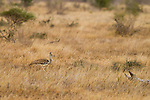 Kori Bustard (Ardeotis kori) in grassland, Kruger National Park, South Africa