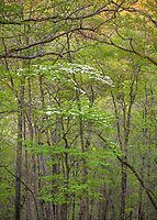 Buffalo National River, AR: Flowering dogwood (Cornus florida) in spring forest with sunset light on distant forested hills