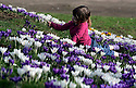 24/02/11 TODAY PHOTO..Freya Kirkpatrick, 3, marvels at a stunning display of crocuses in Derby Arboretum. This inner-city green space was England's first public park, given to the people of Derby by Joseph Strutt on Wednesday September 16th 1840...All Rights Reserved - All Rights Reserved - F Stop Press (Formerly Picture It Now) - T: +44 (0) 2392 599 888.Local copyright law applies to all print & online usage. Fees charged will comply with standard space rates and usage for that country, region or state.