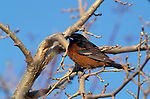 Orchard Oriole, Icterus spurius, Canada, perched in tree, small black and brown bird