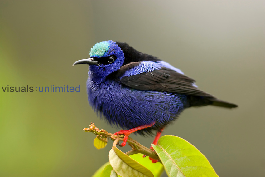Red-legged Honeycreeper (Cyanerpes cyaneus), Costa Rica