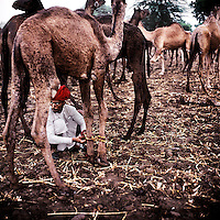 At the end of every day, on the 150 km walk from Jojowar to the Pushkar Camel Fair, Bhawerlal Raika ties the feet of his camels together to stop them wandering too far. The Raika are an ancestral caste of camel breeders in Rajasthan. Due to the increased cost of feeding and shelter, more and more Raika are being forced to sell off their camels, often for camel meat, which was once considered taboo.