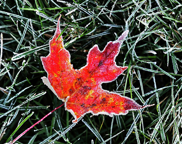An early frost highlights a fallen maple leaf.