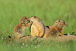 Prairie Dog with Babies