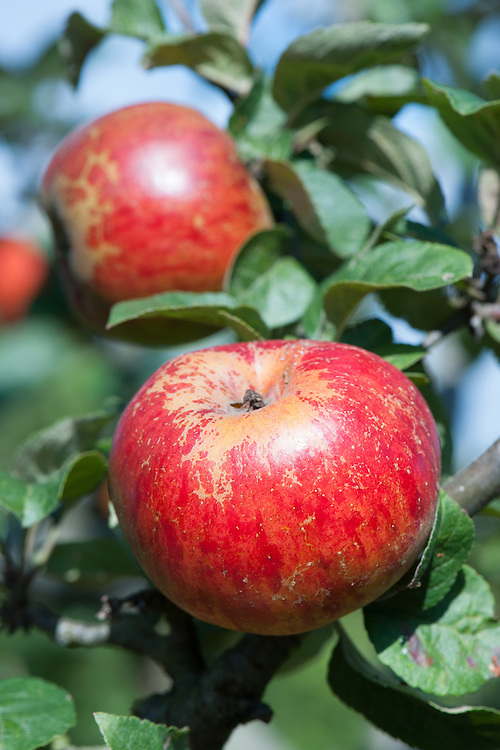 Apple 'May Queen', late September. A late 19th century English dessert apple from Worcester.