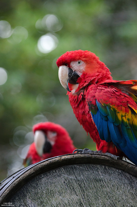 Two Captive Scarlet Macaw {Ara macao} Parrots at the Welsh Mountain Zoo, Conwy