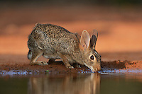 Eastern Cottontail (Sylvilagus floridanus), adult drinking at pond, South Texas, USA