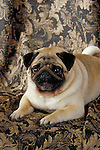 pug Shopping cart has 3 Tabs:<br /> <br /> 1) Rights-Managed downloads for Commercial Use<br /> <br /> 2) Print sizes from wallet to 20x30<br /> <br /> 3) Merchandise items like T-shirts and refrigerator magnets