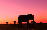 Botswana, the Chobe River elephants. The deep pink sky is from controlled burn fires in Namibia, just a few miles away.