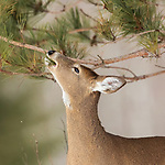 White-tailed doe eating red pine needles in northern Wisconsin.