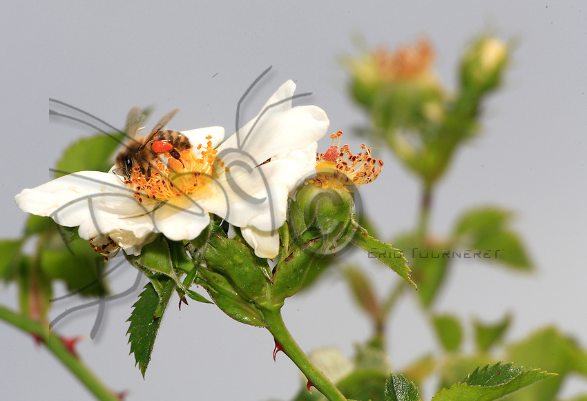 Wild roses are primarily used by bees as a source of pollen.