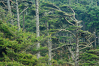 Wind-blown Sitka Spruce tree on Washington Coast