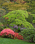 Seattle, WA: Evergreen azaleas blooming under spring colored maples in the Washington Park Arboretum's Japanese Garden