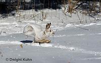 MA19-548z  Snowshoe Hare running on snow,  Lepus americanus