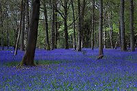 There can be few more spectacular sights than a carpet of bluebells in a sun-dappled wood