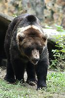 CALI-COLOMBIA-21-06-2003. El oso pardo (Ursus arctos) es una especie  de mamífero  omnívoro  de la familia  de los úrsidos  propio de Eurasia  y Norteamérica . The brown bear (Ursus arctos) is a species of omnivorous mammal of the family of ursids own Eurasia and North America.(Photo: VizzorImage/Luis Ramirez)
