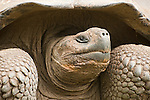 Portrait of a Galapagos giant tortoise in the Galapagos Islands, Ecuador.
