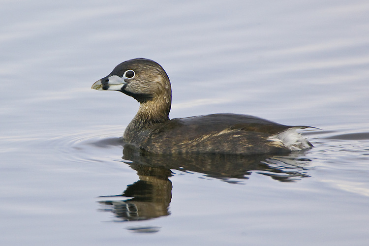 Pied-billed Grebe swimming on a marsh
