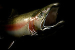 Rainbow Trout (Oncorhynchus mykiss) speciment in breeding coloration, these anadromous steelhead are locally endangered, Aptos, Monterey Bay, California