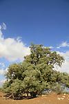 T-157 Tamarisk tree by Tel Hasi