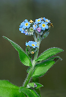 WOOD FORGET-ME-NOT Myosotis sylvatica (Boraginaceae) Height to 50cm. Much branched and leafy, hairy perennial of damp soils in shady woodland rides and margins. Note the spreading hairs on the stem and leaves. FLOWERS are 6-10mm across, 5-lobed and pale blue, the calyx with hooked hairs; borne in curved clusters (Apr-Jul). FRUITS are brown nutlets. Fruit stalks are twice the calyx length. LEAVES are oblong. STATUS-Locally common in SE and E England; scarce or absent elsewhere.