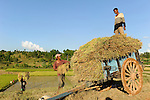 MADAGASCAR Morarano , SRI system of rice intensification developed by french jesuit Henri de Laulanie to increase yield and reduce water usage, farmer harvest rice and transport by bullock cart to village /MADAGASKAR Morarano , Bauern bei Reisernte , SRI System zur Intensivierung des Reisanbau , wurde in den 1980er Jahren auf Madagaskar vom franzoesischen Jesuit Henri de Laulanie zur Steigerung der Ertraege und Senkung des Wasserverbrauch entwickelt, Bauern transportieren den geernteten Reis ins Dorf