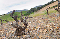 Soil detail. Slate. Vines. Died from the court noue fanleaf degeneration virus disease. Mas Amiel, Maury, Roussillon, France