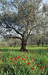 Israel, Olive grove in the Galilee
