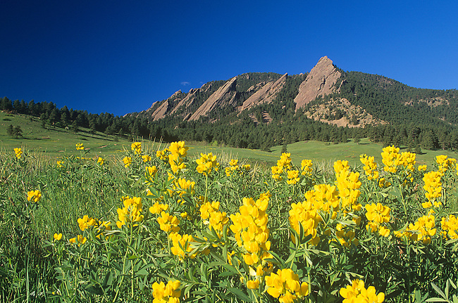 Golden Banner Wildflowers, Flatirons, Colorado