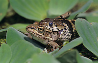 Checkered Garter Snake, Thamnophis marcianus marcianus, adult eating Leopard Frog, Lake Corpus Christi, Texas, USA